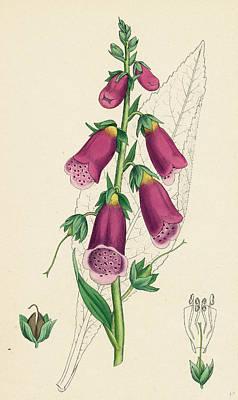 Foxglove Flowers Drawing - Digitalis Purpurea Purple Foxglove by English School