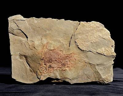 Paleozoology Photograph - Dipteronotus Fish Fossil by Gilles Mermet