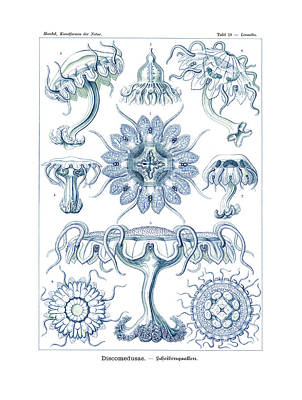 Art In Nature Drawing - Discomedusae by Ernst Haeckel