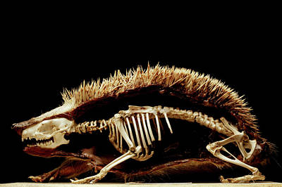Hedgehog Wall Art - Photograph - Dissected Hedgehog by Mauro Fermariello/science Photo Library