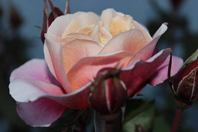 Photograph - Distant Drum Rose Bloom by Patricia Hiltz