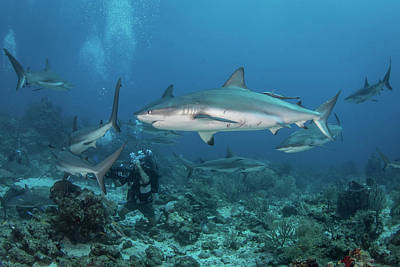 Photograph - Divers And Grey Reef Sharks, Roatan by Brandi Mueller