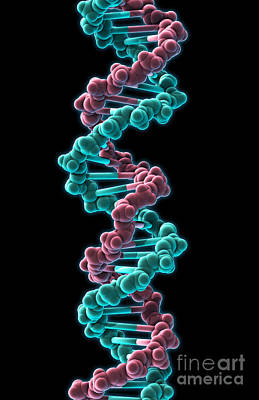 Photograph - Dna, Molecular Model by Evan Oto