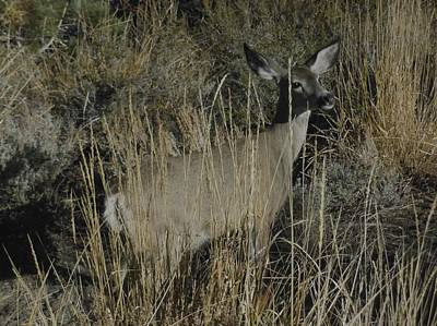 Photograph - Doe Mule Deer by Don Kreuter