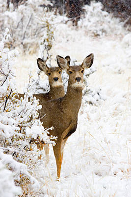 Steven Krull Photos - Doe Mule Deer in Snow by Steven Krull