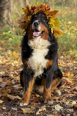 Bernese Mountain Dogs Photograph - Dog In Yellow Leaves Crown by Aleksey Tugolukov