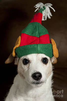 Naughty Dog Photograph - Dog Wearing Elf Ears, Christmas Portrait by Jim Corwin
