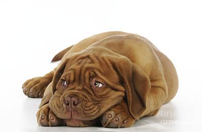 Dogue De Bordeaux Puppy Print by John Daniels