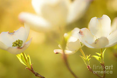 Dogwood Dreams Art Print by Thomas R Fletcher