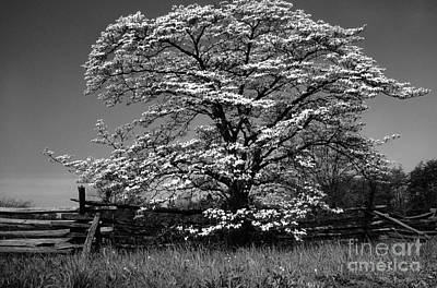 Dogwood In Bloom Art Print by Thomas R Fletcher