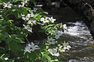 Photograph - Dogwoods In Yosemite by Lynn Bauer