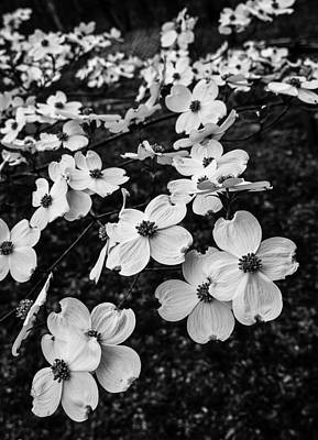Photograph - Dogwoods by Wayne Meyer
