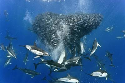 Dolphins Hunting Mackerel Art Print