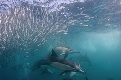 Dolphins Hunting Sardines Art Print by Scubazoo