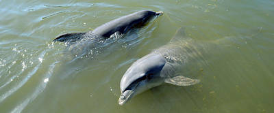Sea Animals Photograph - Dolphins In The Sea, Varadero, Matanzas by Panoramic Images