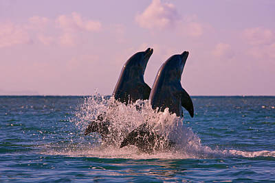 Dolphins Leaping From Sea, Roatan Art Print by Keren Su