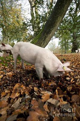 Id Tag Photograph - Domestic Pig Foraging by Simon Booth