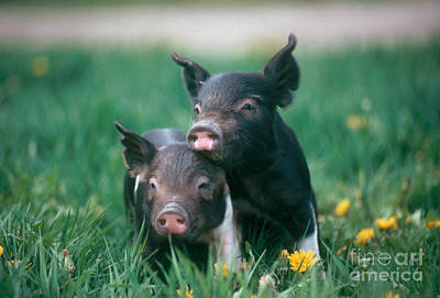 Piglets Photograph - Domestic Piglets by Alan Carey