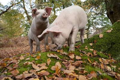 Id Tags Photograph - Domestic Pigs Foraging by Simon Booth
