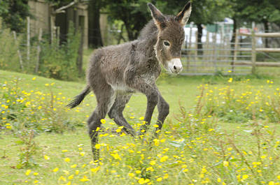 Donkey Foal Photograph - Donkey Baby by John Daniels