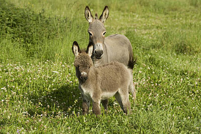 Baby Donkey Photograph - Donkey With Foal by Jean-Michel Labat