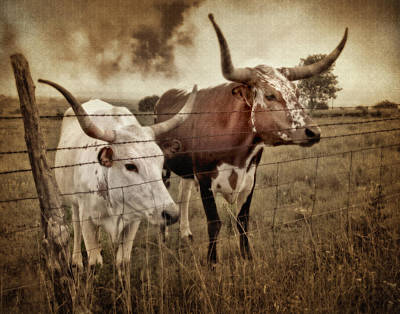 Longhorn Photograph - Texas Longhorns In Sepia by David and Carol Kelly