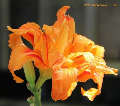 Photograph - Double Orange Daylily by Carolyn Postelwait