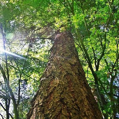 Sunny Photograph - Douglas Fir Tree Rising by Anna Porter