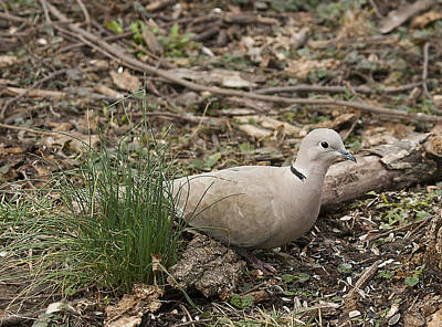 Photograph - Dove by Marty Maynard