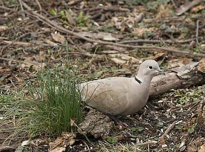 Photograph - Dove by Marty Maynard