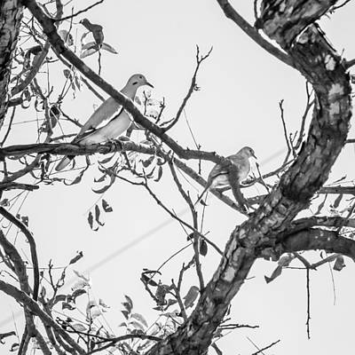 Photograph - Doves In The Pecan Tree by Melinda Ledsome