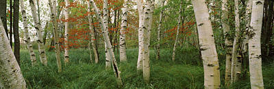 Downy Photograph - Downy Birch Betula Pubescens Trees by Panoramic Images