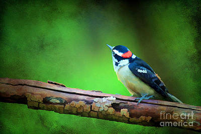 Picoides Pubescens Photograph - Downy Woodpecker by Darren Fisher