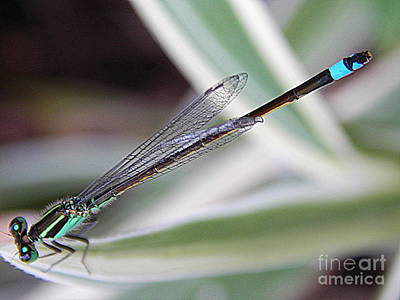 Photograph - New Orleans Damsel Fly by Michael Hoard