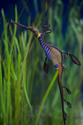 Dragon Seahorse Print by Diego Re