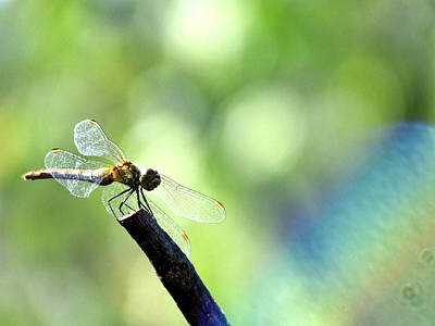 Dragonfly Art Print by Balica  Marius