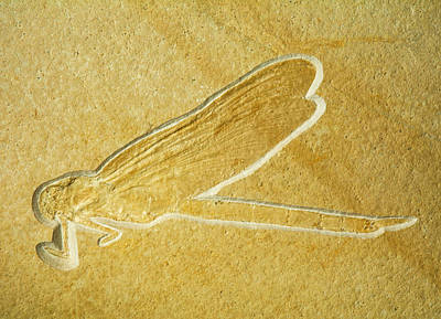 Photograph - Dragonfly Fossil by Millard H. Sharp