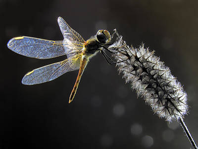 Dragonfly Photograph - Dragonfly by Jimmy Hoffman