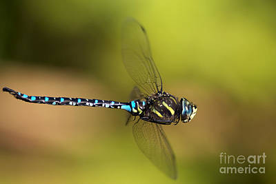 Dragonfly Art Print by Sharon Talson