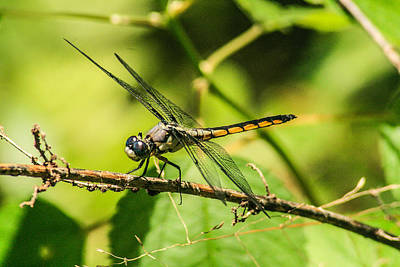 Dragonfly Art Print by Steven  Taylor