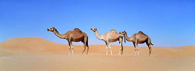 Emirates Photograph - Dromedary Camel (camelus Dromedarius by Martin Zwick