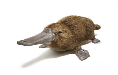 Poisonous Digital Art - Duck-billed Platypus On White by Leonello Calvetti