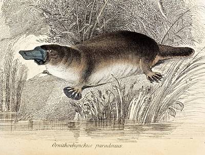Marsupial Photograph - Duck-billed Platypus by Paul D Stewart