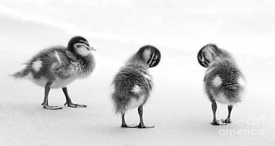 Birds Rights Managed Images - Ducklings Black and White Royalty-Free Image by Tim Hester