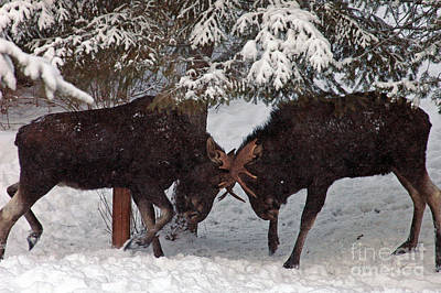 Photograph - 750p Dueling Moose by NightVisions