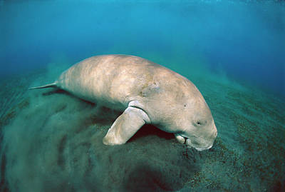 Dugong  Feeding On Sea Grass Art Print by Mike Parry