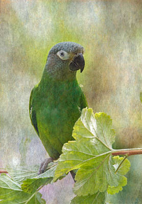 Photograph - Dusky Conure by Angie Vogel