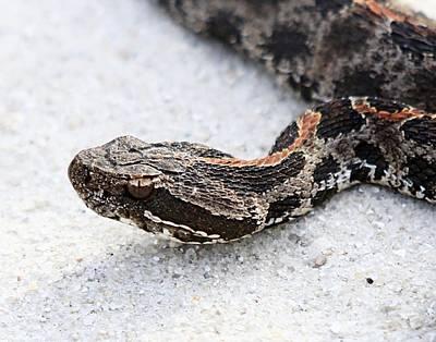 Photograph - Dusky Pygmy Rattlesnake by Ira Runyan