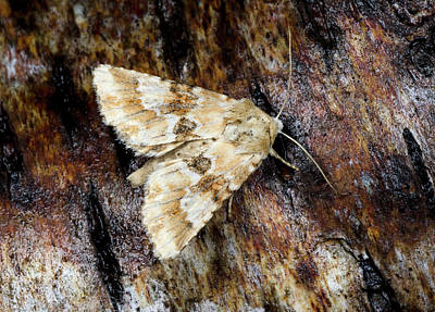 Dusky Photograph - Dusky Sallow Moth by Nigel Downer