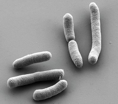 E. Coli Bacteria Print by Thomas Deerinck, Ncmir